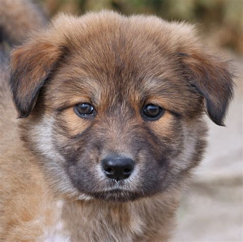 german shepherd chow mix puppy german shepherd rottweiler chow mix www imgkid the image kid has it