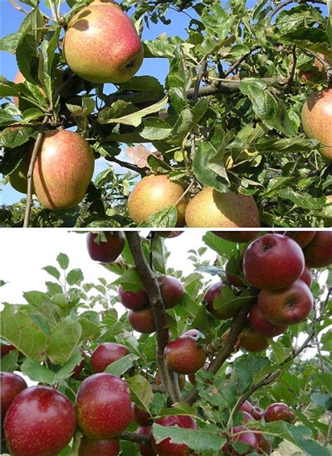 fruit trees names day s cottage fruit trees day s cottage