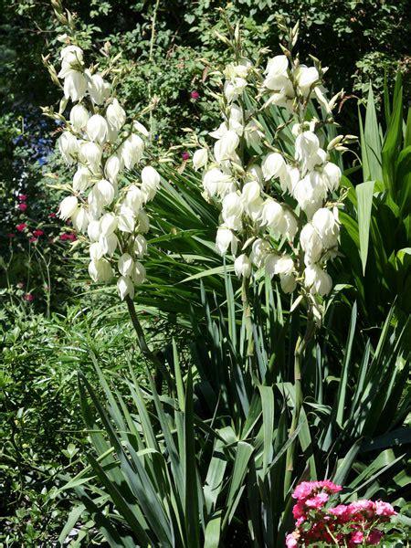 gartenyucca pflege palmlilie yucca hauenstein rafz