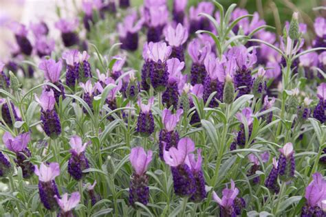 main types of lavender for your garden snaplant com