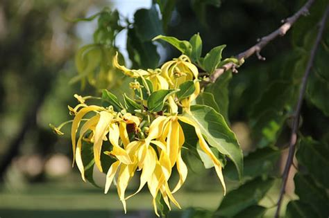 ylang ylang essential oil essential oil guides