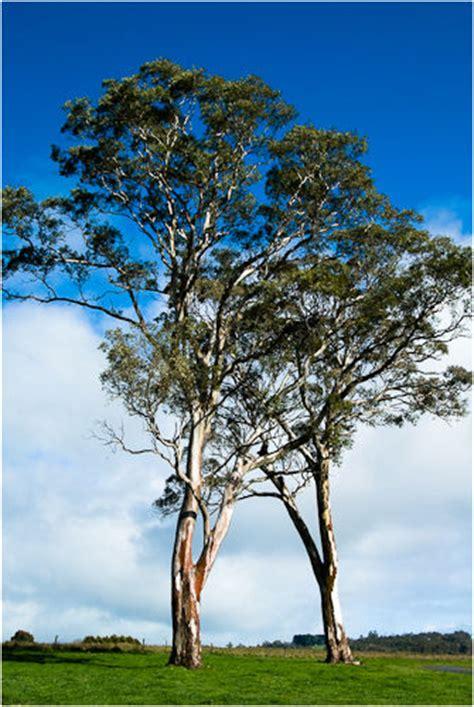 Gum 3s gum tree mclarenvale south australia plant nature