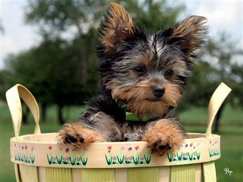 yorkie shire dogs washington free classified ads