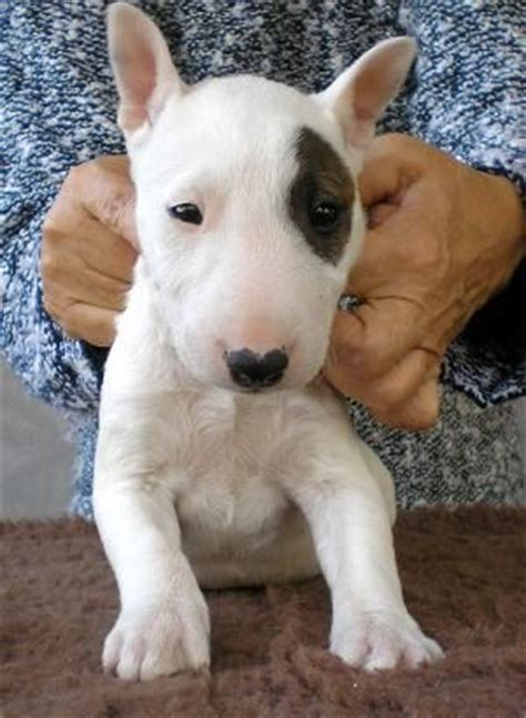 mini bull terrier puppies 17 best ideas about bull terriers on bull terrier puppy bull terrier