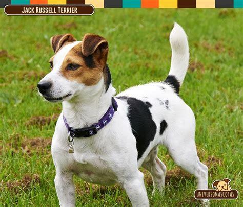 raza perros peque os pelo corto 17 mejores ideas sobre razas de perro peque 241 o en pinterest