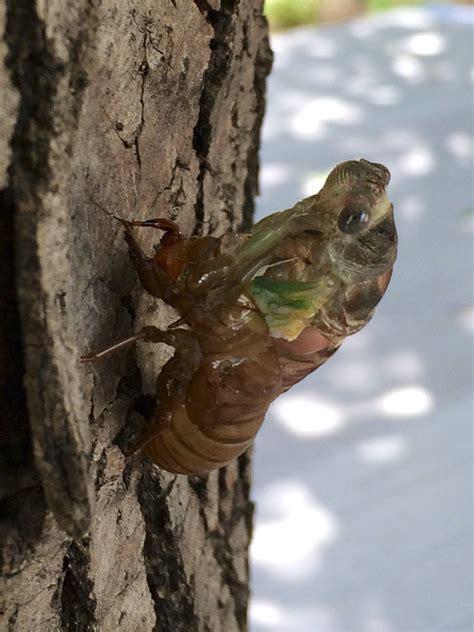 day cicada minnesota seasons day cicada