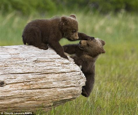 grizzly bear cubs playing grizzly bear cubs battle to knock each other off a log
