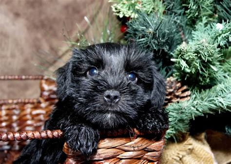 miniature schnauzer puppies for sale in nc miniature schnauzer puppies for sale in carolina parents akc breeds picture