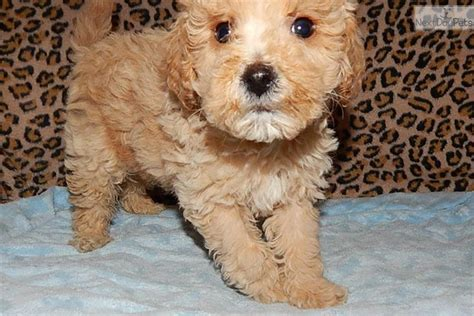 goldendoodle puppy for sale in indiana goldendoodle puppy for sale near south bend michiana