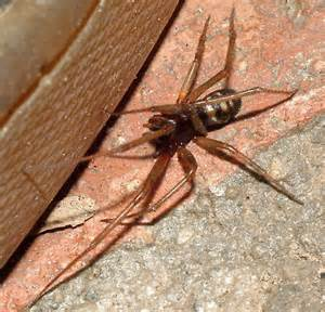 Spider Bed by Spider Was In Bed Not Familiar With Steatoda Grossa