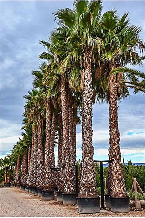 planting fan palm trees palmfarm catalogue palm trees for sale in spain in