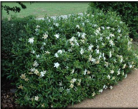 creeping dwarf gardenia 2 5 quart shrub groundcover 25 best ideas about dwarf gardenia on pinterest dwarf