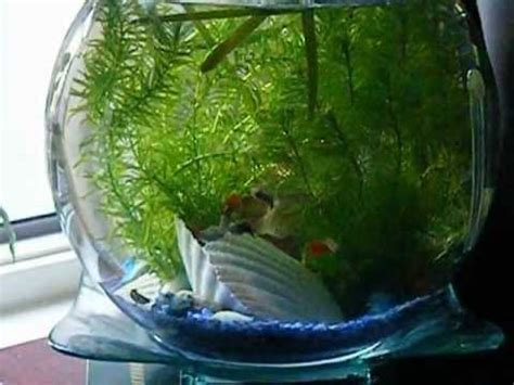 How To Decorate A Home With No Money guppy fish in round fish tank bowl youtube