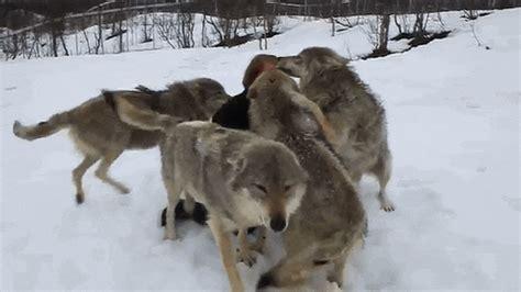 Jam 6435 Black wolves aj amino amino