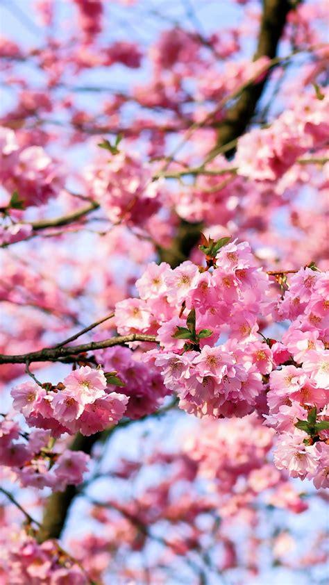 cherry tree background cherry blossom tree free phone background wallpaper