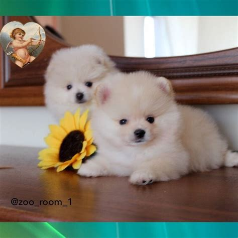 pocket pomeranian for sale amazing mini pomeranian puppies for sale in fishermead buckinghamshire gumtree