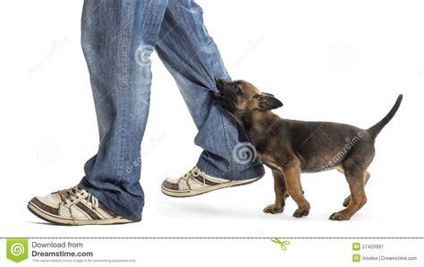 biting leg belgian shepherd puppy biting leg royalty free stock photography image 27420997