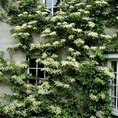 climbing plants for south facing walls best 25 hydrangea petiolaris ideas on