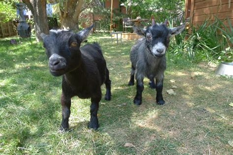 backyard goats talitha and ashley related keywords suggestions