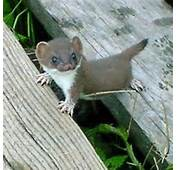 Baby Marten  Wildlife Pinterest