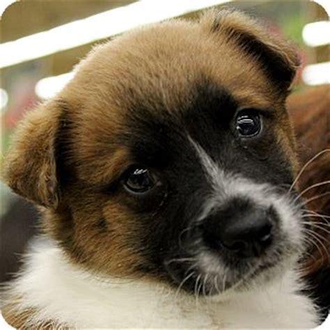 st bernard yorkie mix bronco nfl litter adopted puppy mooresville nc chihuahua st bernard mix