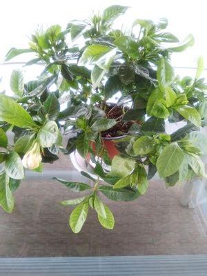 gardenia in vaso gardenia in vaso appare debole cosa posso fare