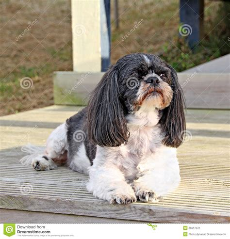 shih tzu photography shih tzu stock photography image 26517272
