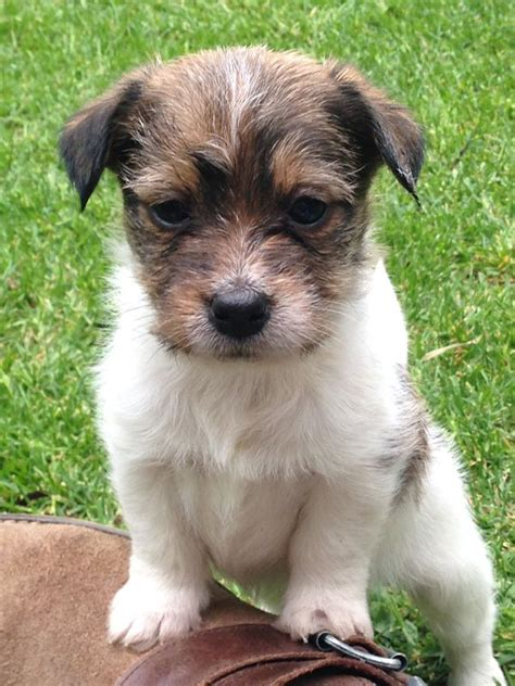 Tri Jack Russell Puppies   Short Leg, Long Haired