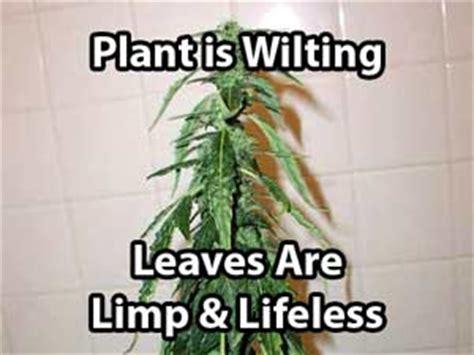 underwatering cannabis symptoms solution grow easy underwatering cannabis symptoms solution grow easy