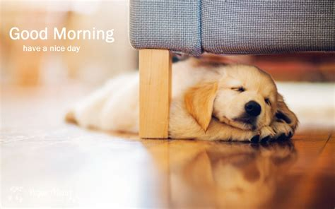 by good morning golden retriever good morning cute puppy hd pictures good morning