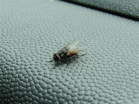 fly in the house flying robot bugs 6legs2many