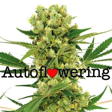 Growing Auto Seeds by Autoflowering Cannabis Seeds Cannabis Seeds Store