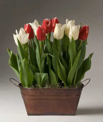 potted tulips care driverlayer search engine