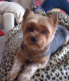 yorkie pics with hair short haircut yorkie hair cuts pinterest
