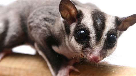 Sugar Glider Series your purchases any product page 363 forum