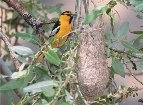 attract the hooded oriole to your west coast yard or
