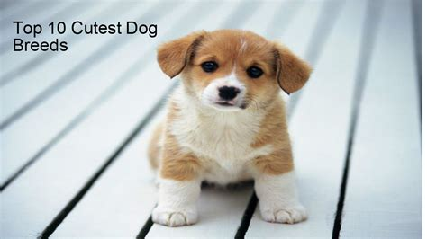 top 10 cutest dogs top 10 cutest small breeds top 10 cutest dogs breeds