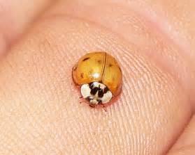 orange ladybugs do they bite