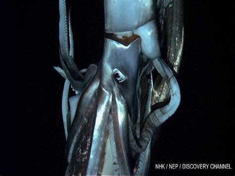 film giant squid marine biologists use bioluminescence to lure and film