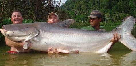 gambar kumpulan foto hasil tangkapan memancing ikan lele
