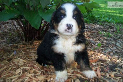 bernese mountain puppies for sale near me bernese mountain puppy for sale near kansas city missouri 597ee0e7 07f1