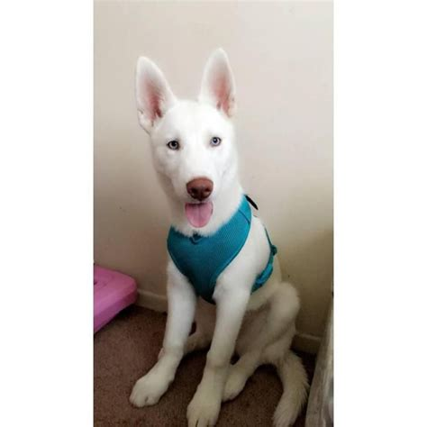 husky mix puppies for sale near me white siberian husky german shepherd mix puppies for sale near me