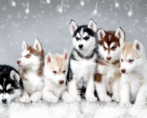 puppies husky 25 pomsky puppies pictures and images