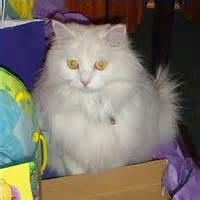 non shedding cat breeds pictures of cats picture