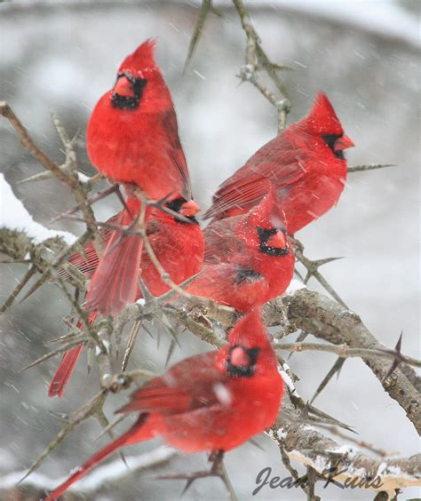 A Picture Of A Cardinal cardinals signs from heaven for birds
