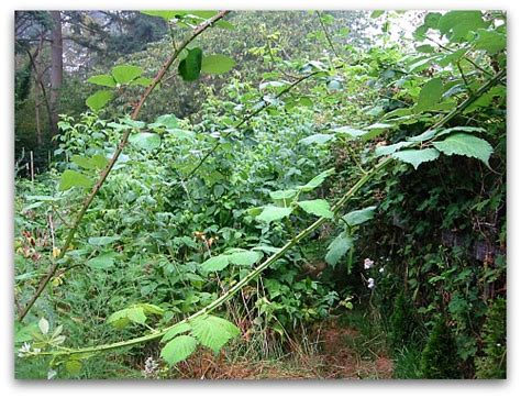 brambles gone wild how to remove blackberries tall
