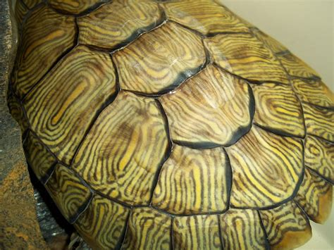 turtle shell template turtle shell pattern shahzad hamed flickr