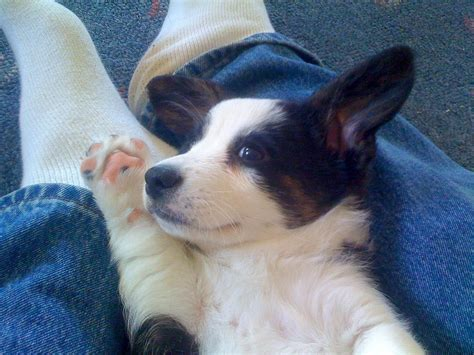 where to buy corgi puppies cardigan corgi puppy the corgi site
