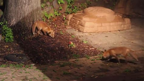 playful baby foxes find  dogs toy ball