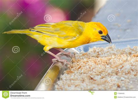 rhinelander canaries stock photo royalty yellow canary royalty free stock photo image 17284945